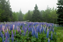 lupines-01