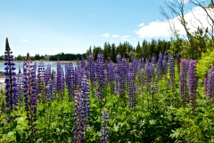 lupines-tremont-060810-01